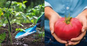 Естествен тор за домати – гаранция за богата и здрава реколта