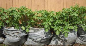 Отглеждане на картофи в торби – лесен начин който пести място