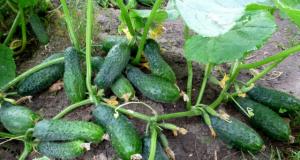 Отглеждане на краставици – съвети за богата реколта