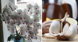 Защо поставям скилидка чесън в саксията със стайни растения?
