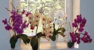 Случайно разбрах рецептата за торене. Всичките ми орхидеи са с цветни стъбла. Никога не е имало такава красота на перваза ми
