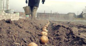 Приятел ме научи: Засаждам картофите по специална схема