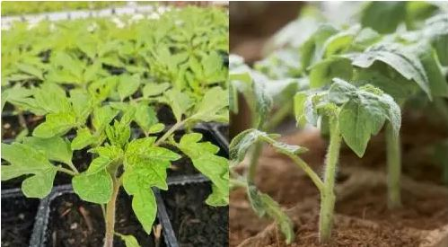 Разсад за домати
