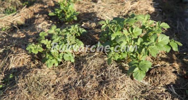Само за мързеливи: Методът за отглеждане на картофи без работа