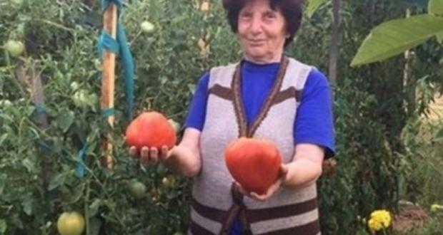 Леля Цанка от Гложене показа как отглежда гигантските си розови домати